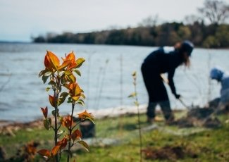 a quinte conservation staff member planting on a shoreline, with the lake in behind and a recently planted shrub in the foreground